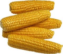 Купить Гибрид кукурузы Оржица 237 МВ
