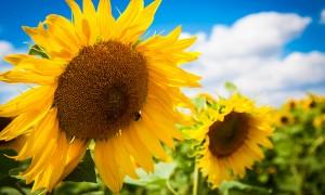 Семена подсолнечника – отличные природные антидепрессанты