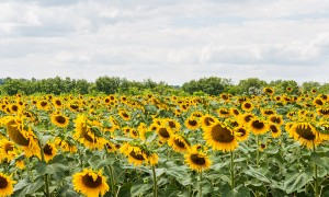 Высокоолеиновый подсолнечник в Украине