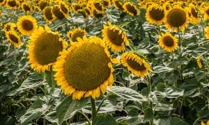 Проблемы при выращивании подсолнуха