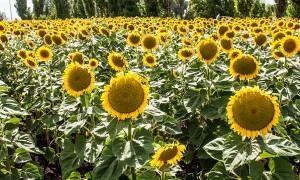 Почему снижается урожайность подсолнечника?