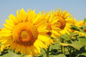Сонячный настрий