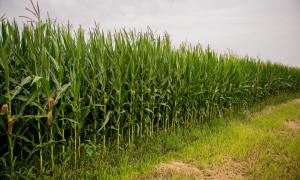 Купить гибрид кукурузы Днепровский 181 СВ