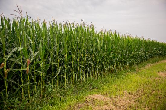 купить кукурузу днепровский 181 св