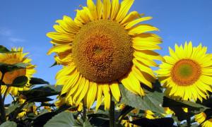 Купить семена гибридного подсолнечника Златсон