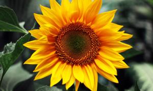 Купить семена подсолнечника гибрид Чародей