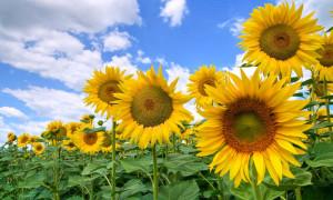 Купить семена подсолнечника гибрид Базальт