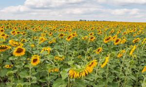Купить семена подсолнечника РАВЕЛИН (под Гранстар)